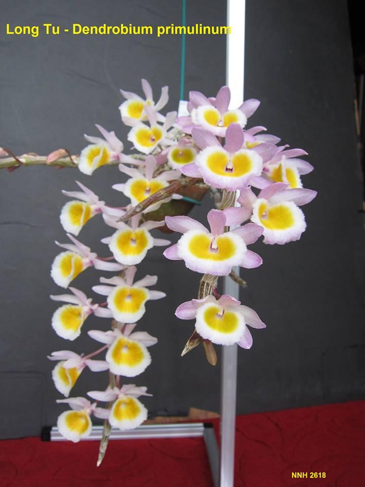 Chăm sóc hoa phong lan Long Tu Xuân- đẹp- nở nhiều
