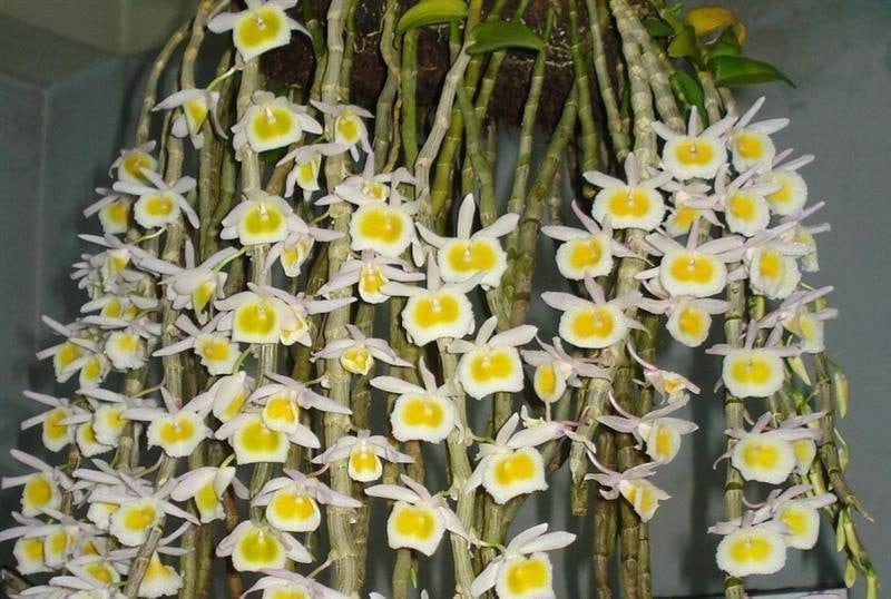 lan long tu nở nhiều hoa