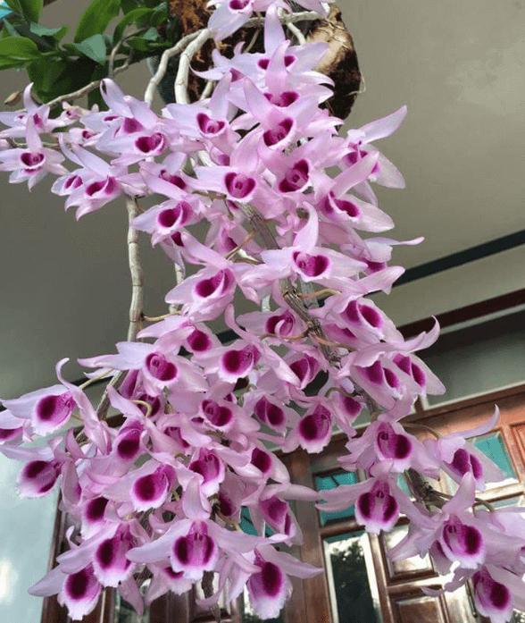 những bông hoa lan phi điệp tuyệt vời