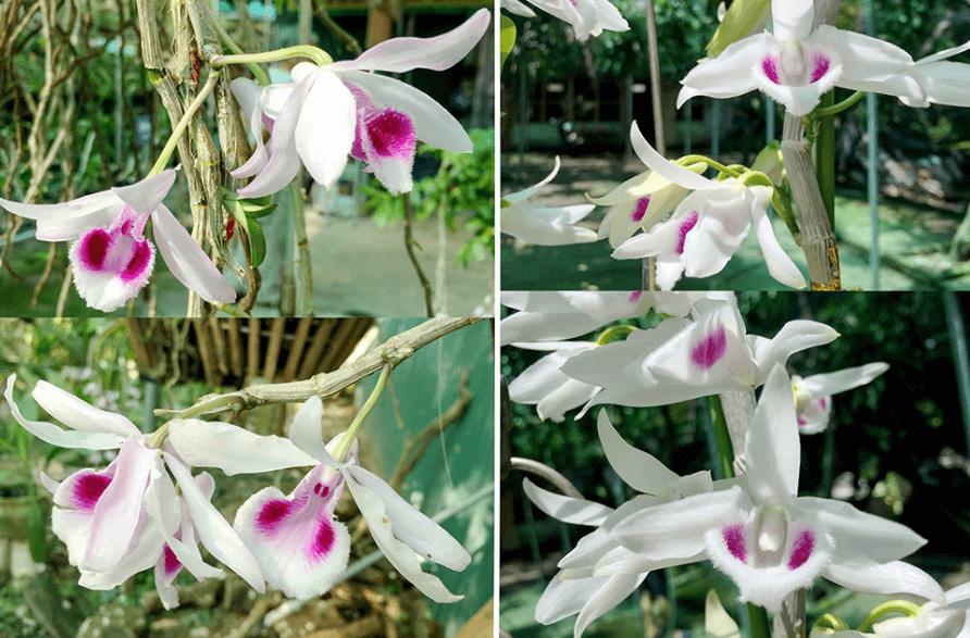 Mặt hoa lan phi điệp đột biến (trái) và mặt hoa lan phi điệp thông thường (phải)
