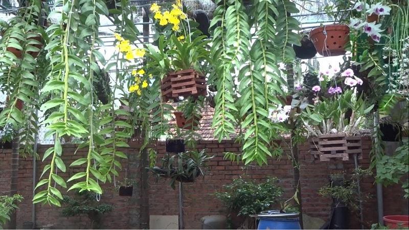 vườn lan giả hạc đẹp nhất