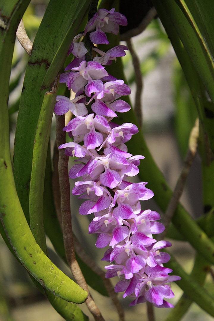 hoa lan sóc lào nở hoa màu sắc tươi tắn
