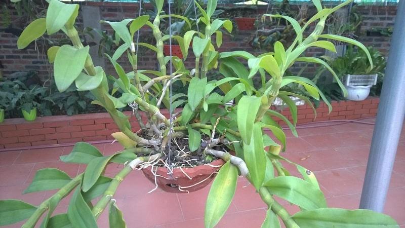 những cây lan trầm trồng trong giá thể trên chậu