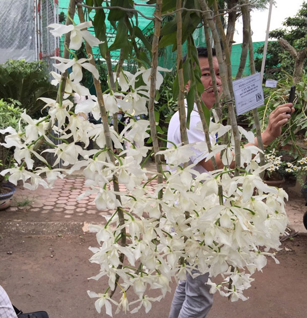 trầm trắng ra sai hoa
