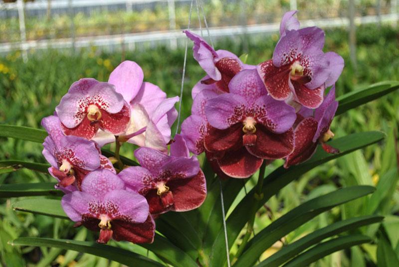 bông hoa lan vanda nở với những cánh hoa khác nhau