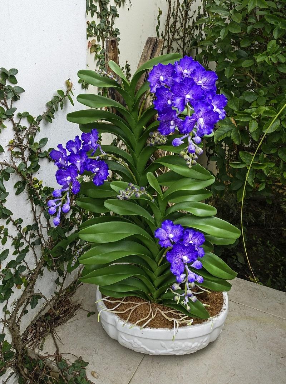 các loại hoa lan vanda khác nhau