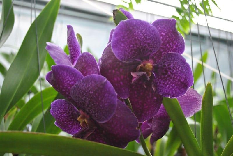lan vanda có những bông hoa to
