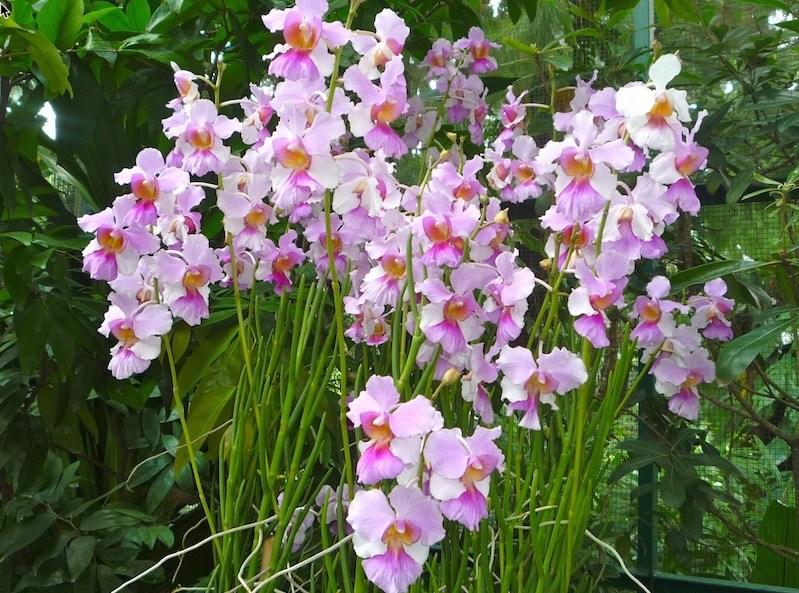 hoa lan vanda miss joaquim nở tuyệt sắc