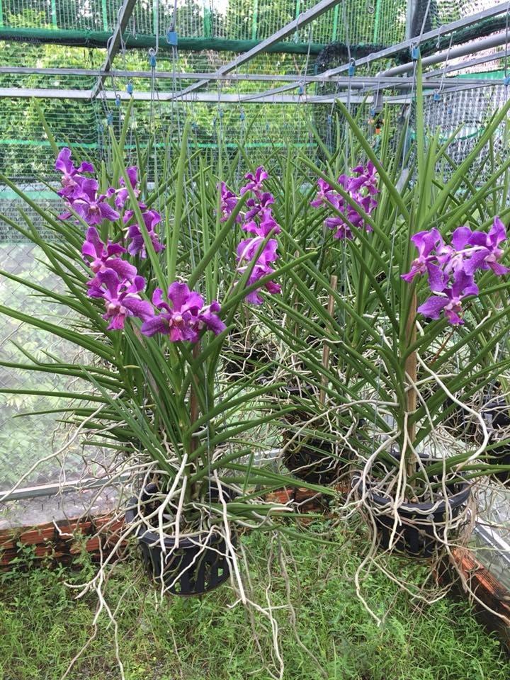 hoa lan vanda nắng