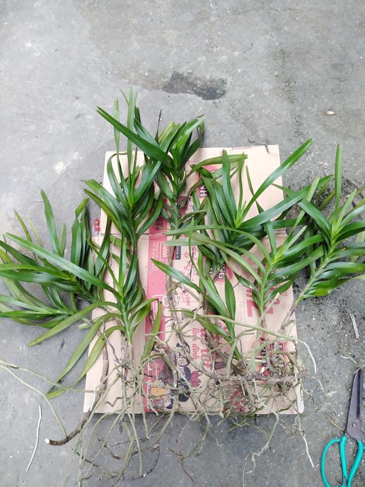 lan vanda bóc rừng về