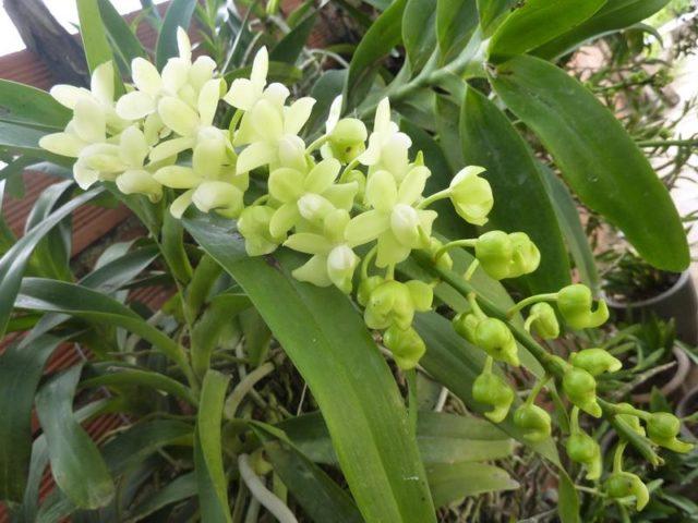 Đặc điểm của lan quế lan hương