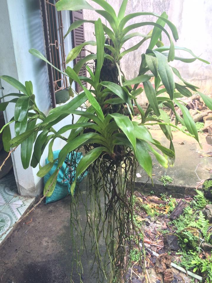 quế lan hương cây phát triển