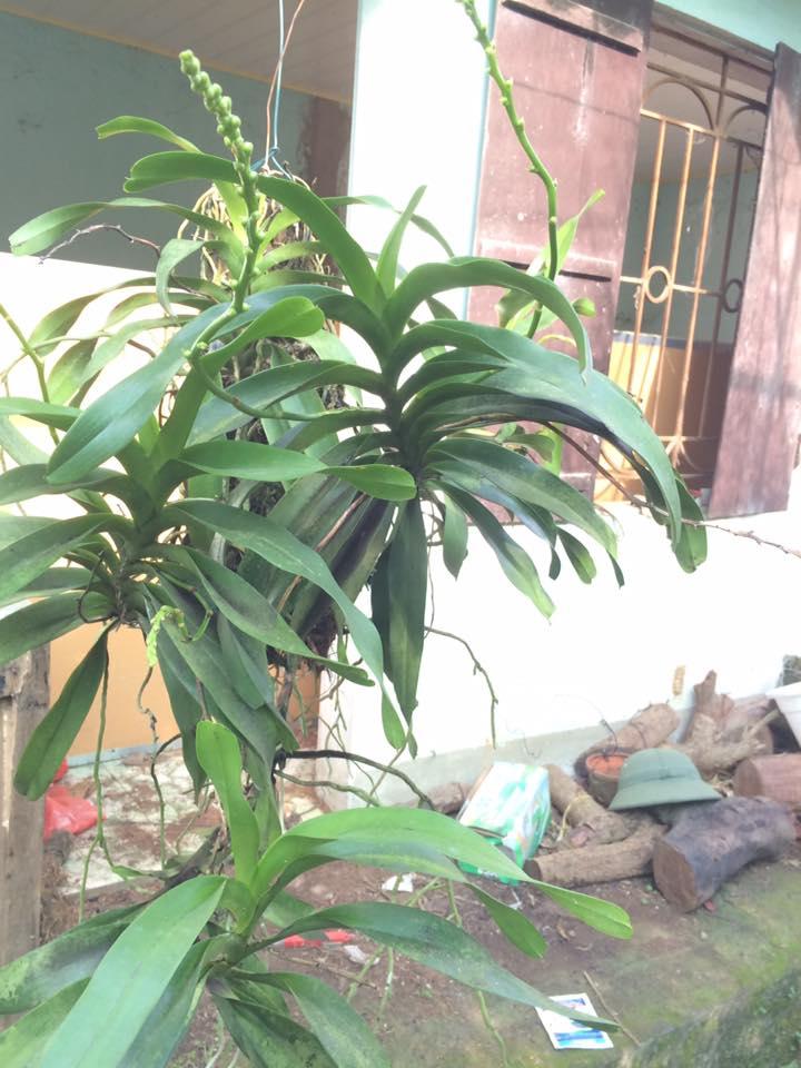 Quế lan hương - Đặc điểm-cách thuần và cách chăm sóc