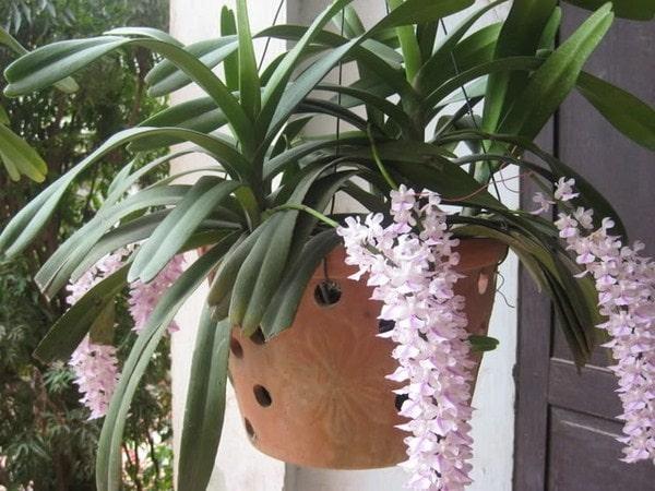 cây quế lan hương khoe sắc hoa