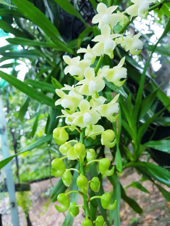 quế lan hương ra hoa màu trắng tính khôi