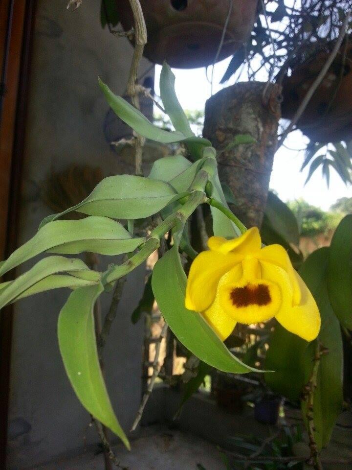 Hoa phong lan trầm vàng kho sắc đẹp