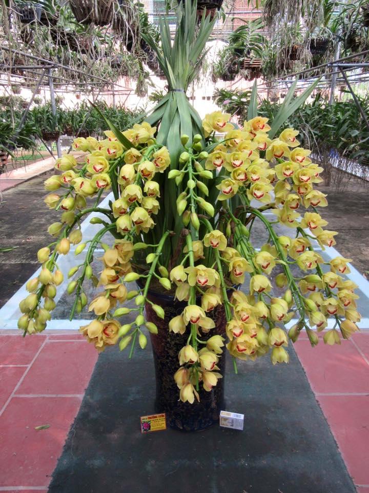 những bông hoa địa lan vàng rất đẹp