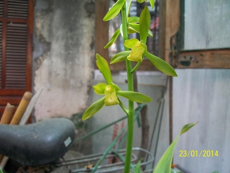 những bông hoa đầu tiên của địa lan thanh ngọc