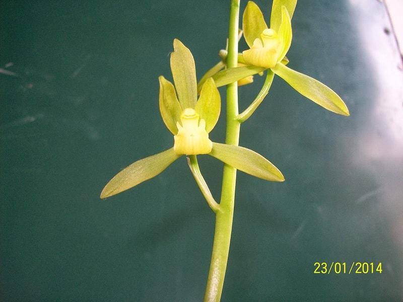Cách trồng và chăm sóc hoa lan thanh ngọc khi ra hoa