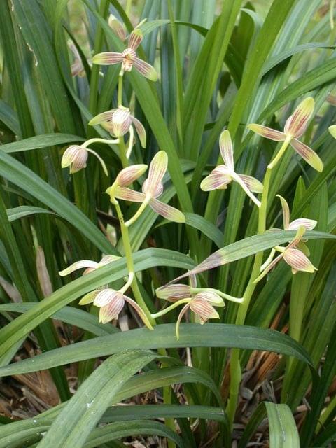 Cách trồng và chăm sóc hoa lan thanh ngọc