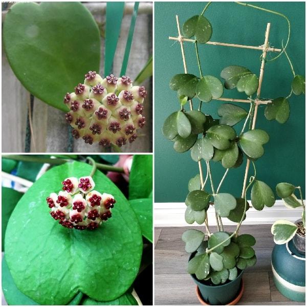 cây lan cẩm cù phát triển khỏe mạnh