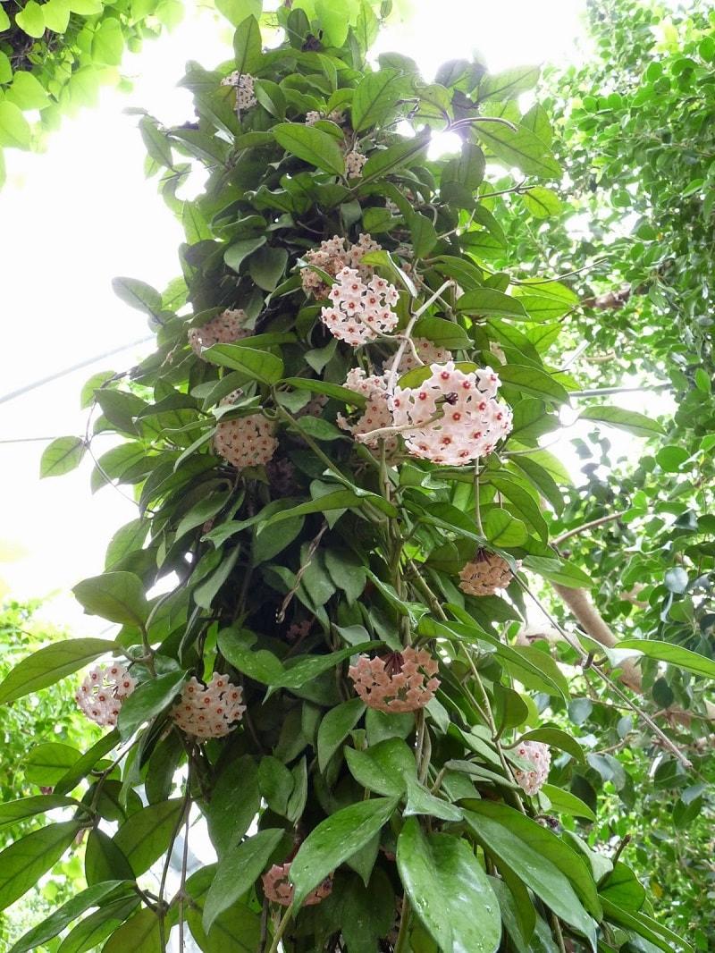 những cây lan cẩm cù phát triển thành bụi lớn