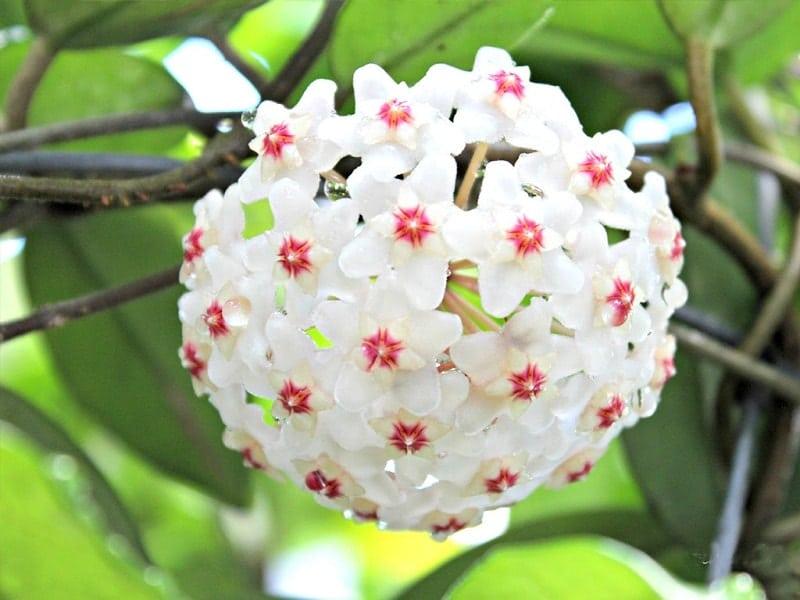 Cây lan cẩm cù là gì