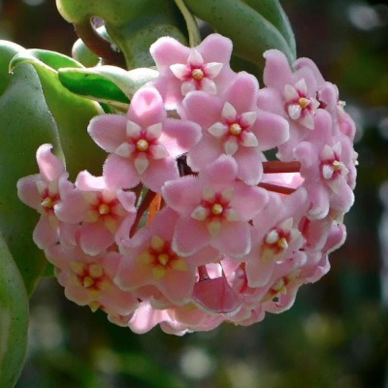 lan cẩm cù màu hồng