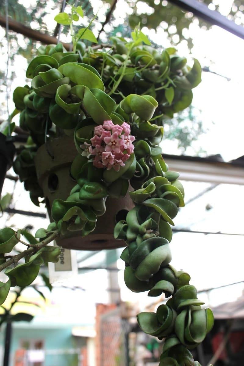 Lan cẩm cù sai hoa, hoa chơi được lâu-tuyệt sắc giai nhân