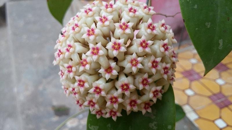 cây hoa lan cẩm cù đẹp
