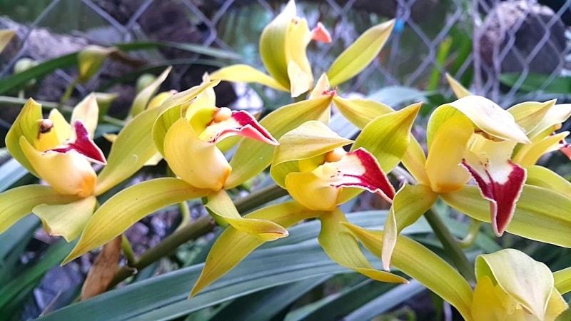 lan trần mộng dành cho người yêu thích hoa lan