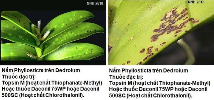 Bệnh đốm lá do Phyllosticta