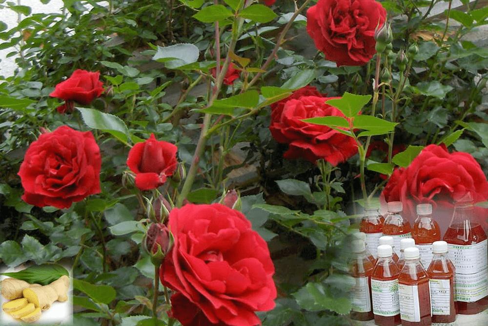 Cách sử dụng GE tưới cho lan, hoa hồng