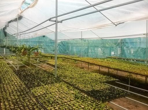 + Ngoài yếu tố chăm sóc thì điều kiện vườn cũng rất quan trọng để lan giống phát triển nhanh, khỏe.