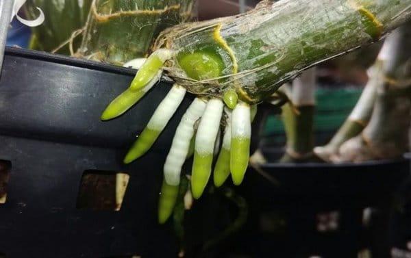 bộ rễ lan bắt đầu nhú lên