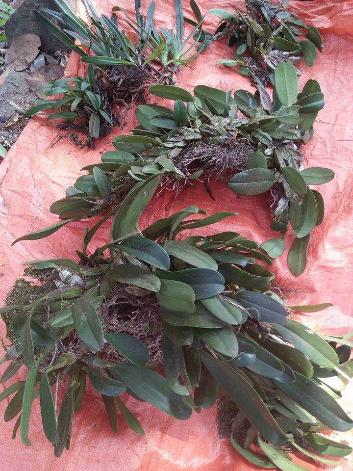 cây lan vảy rồng bóc rừng về