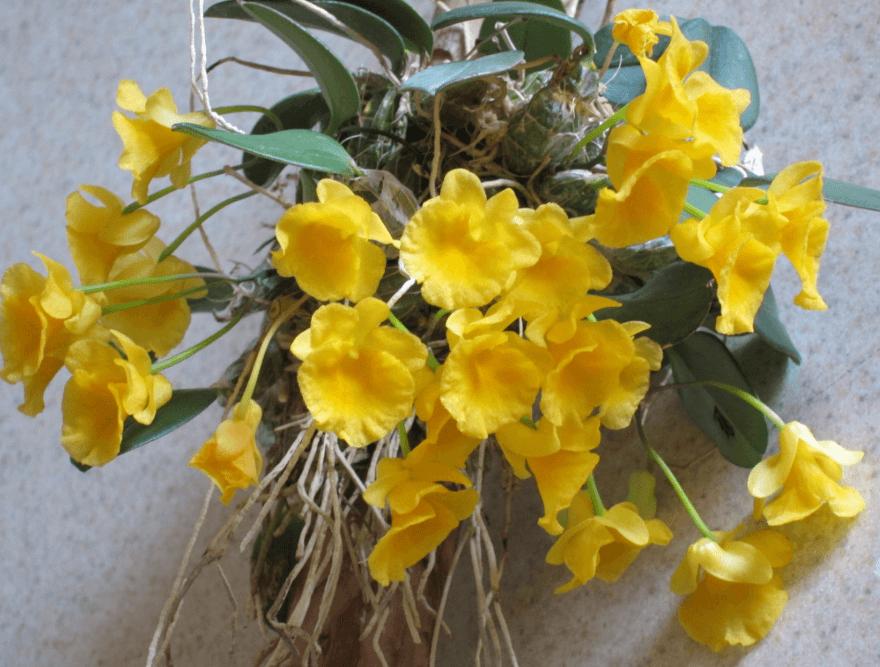 Đặc điểm của cây lan vảy rồng đẹp