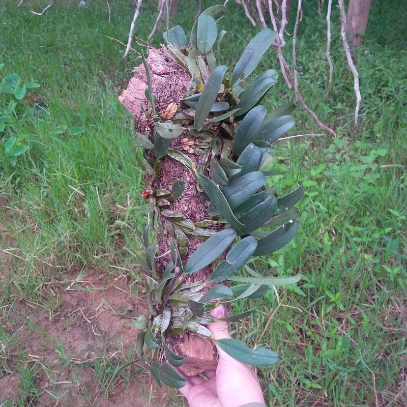 cây lan vảy rồng ghép vào khúc gỗ