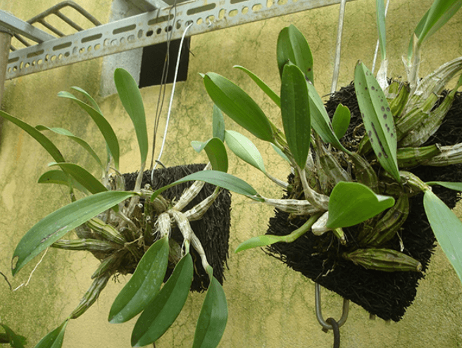 cây lan vảy rồng ghép vào bảng dớn