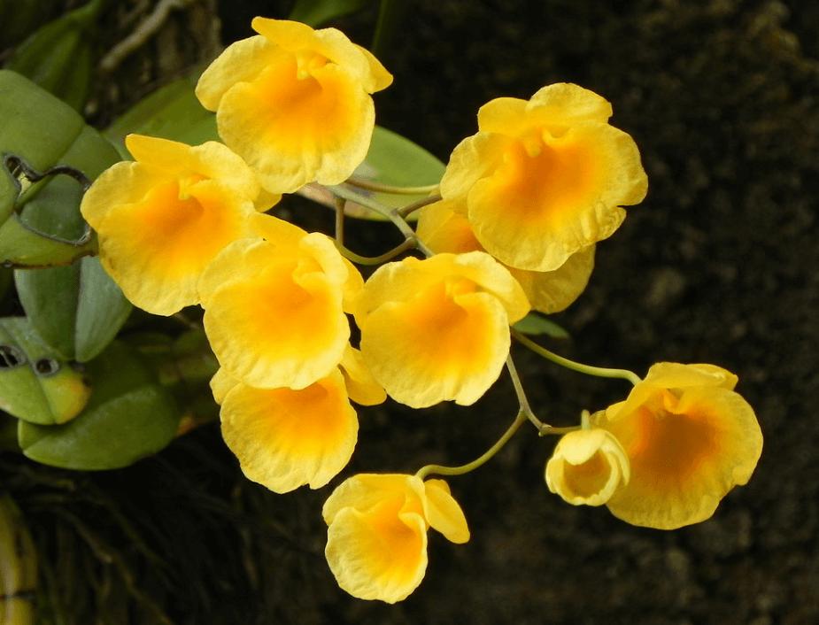 vẻ đẹp của cây hoa lan vảy rồng