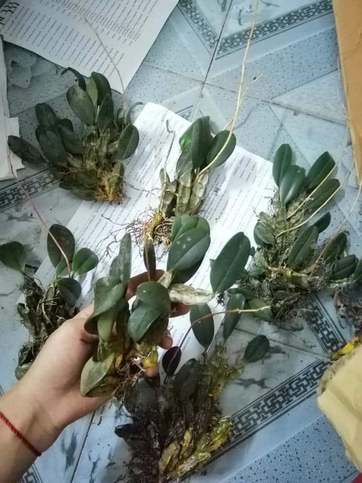 xử lý cây lan vảy rông khi bóc rừng về