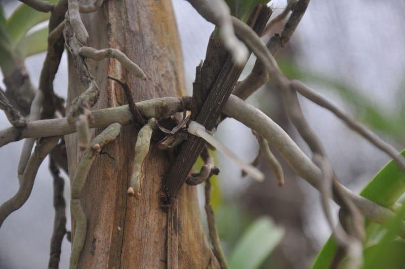 cây lan có bộ rễ khỏe mạnh