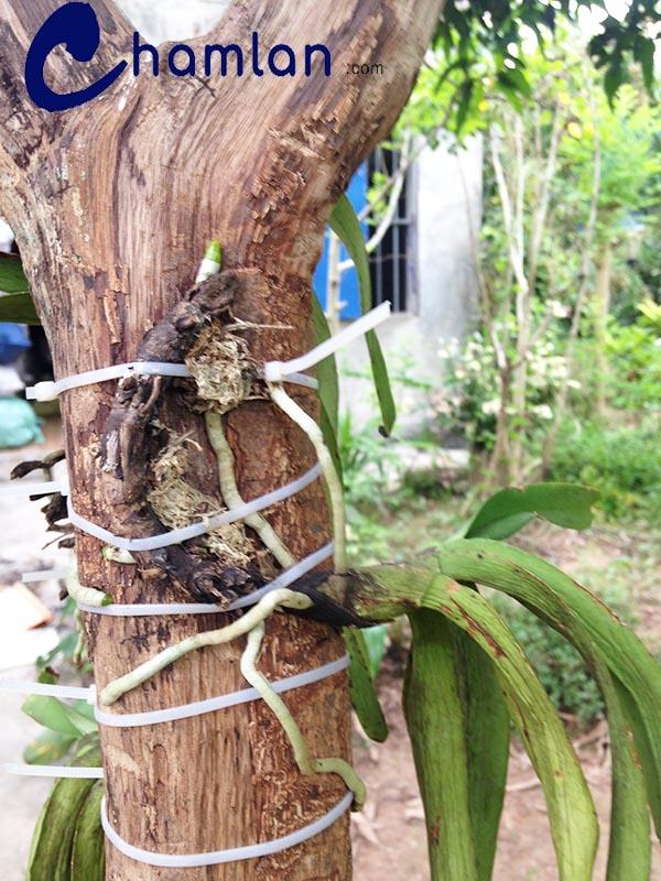 cây lan sau khi ghép đã ra bộ rễ mới