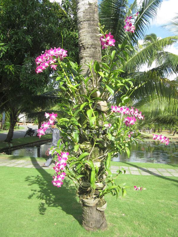 lan ghép vào cây dừa