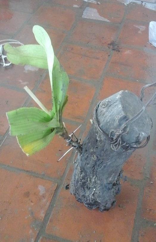 đinh viết và cố định cây lan trên cây gỗ