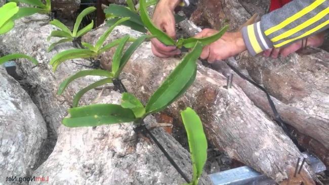 trồng lan đai châu vào nhũng khúc gỗ lớn