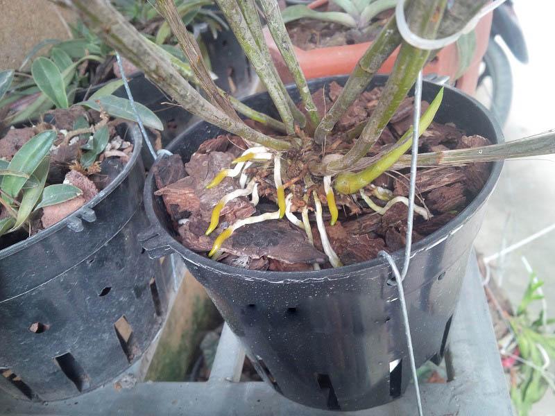 cây lan phát triển sau khi trồng chậu