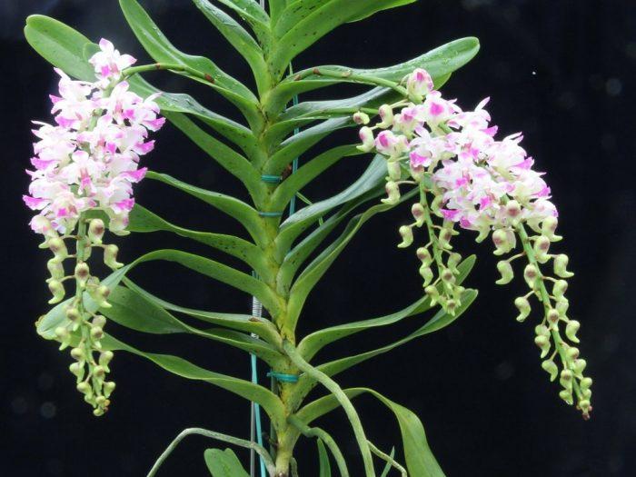 vẻ đẹp của cây lan bạch nhạn khi ra hoa