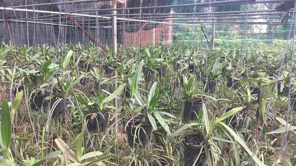 cây lan bạch nhạn thường ghép vào những chậu trồng trong vườn