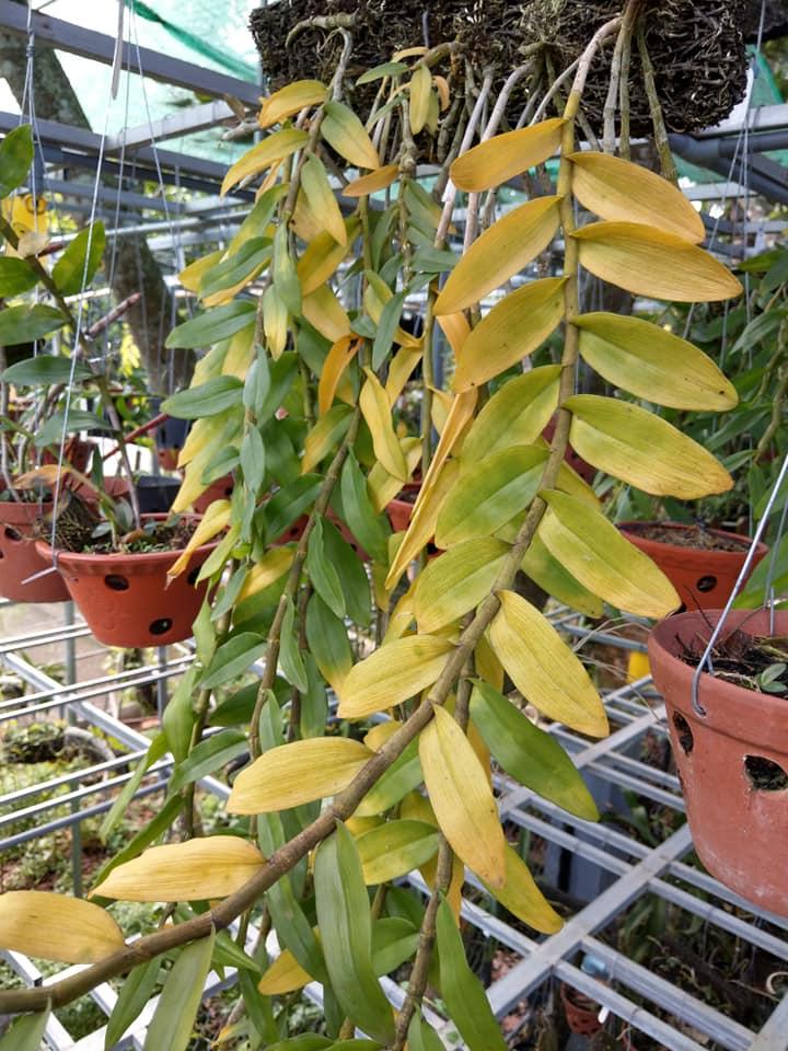 Nhiệt độ cao làm cho cây bị vàng lá